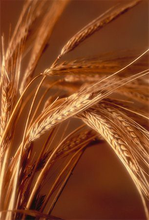 Close-Up of Wheat Stock Photo - Rights-Managed, Code: 700-00028583