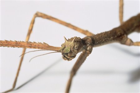 Close-Up of Walking Stick Stock Photo - Rights-Managed, Code: 700-00044714