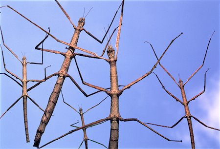 Close-Up of Walking Sticks Stock Photo - Rights-Managed, Code: 700-00044713