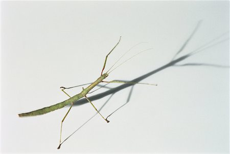 Close-Up of Indian Walking Stick Stock Photo - Rights-Managed, Code: 700-00044861