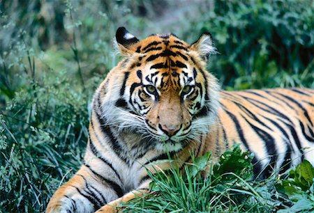Portrait of Sumatran Tiger Metro Zoo, Toronto, Ontario Canada Stock Photo - Rights-Managed, Code: 700-00053384