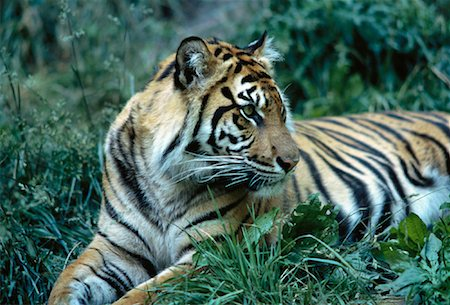 Sumatran Tiger Sitting in Grass Metro Zoo, Toronto, Ontario Canada Stock Photo - Rights-Managed, Code: 700-00053385