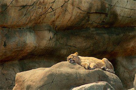Lion Metro Toronto Zoo Toronto, Ontario, Canada Stock Photo - Rights-Managed, Code: 700-00089634