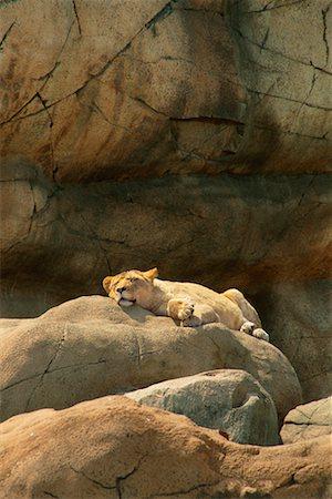 Lion Metro Toronto Zoo Toronto, Ontario, Canada Stock Photo - Rights-Managed, Code: 700-00089633