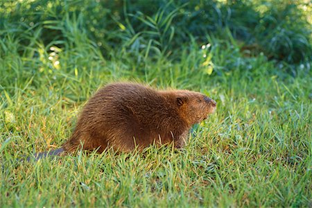 Beaver Stock Photo - Rights-Managed, Code: 700-00165434