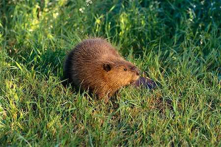 Beaver Stock Photo - Rights-Managed, Code: 700-00165433