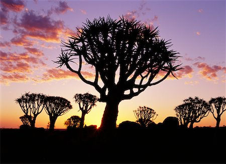 Quiver Trees at Sunset Stock Photo - Rights-Managed, Code: 700-00162824