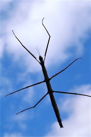 Close-Up of Walking Stick Insect Stock Photo - Rights-Managed, Code: 700-00163993