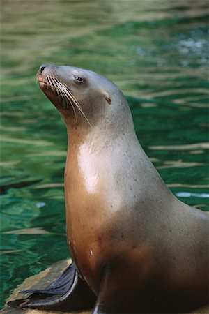 Stellar's Sea Lion Stock Photo - Rights-Managed, Code: 700-00177959