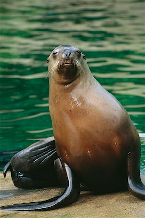 Stellar's Sea Lion Stock Photo - Rights-Managed, Code: 700-00177960