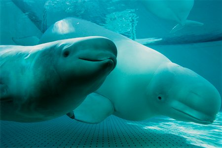Beluga Whales Stock Photo - Rights-Managed, Code: 700-00177962