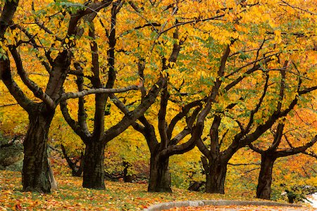 Grove of Trees in Autumn High Park Toronto, Ontario, Canada Stock Photo - Rights-Managed, Code: 700-00184135