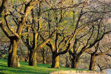 Grove of Trees in Springtime High Park Toronto, Ontario, Canada Stock Photo - Rights-Managed, Code: 700-00184132