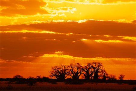 Baobab Trees Nxai Pan National Park Botswana Stock Photo - Rights-Managed, Code: 700-00189160