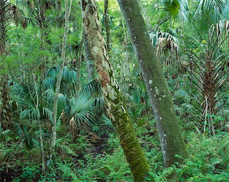 peter griffith - Trees in Forest Highlands Hammock State Park Sebring, Florida, USA Stock Photo - Rights-Managed, Code: 700-00182056