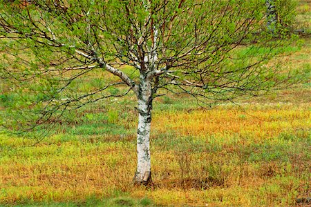 Lone Birch Tree Stock Photo - Rights-Managed, Code: 700-00182847