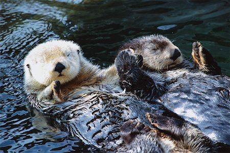 Sea Otters Stock Photo - Rights-Managed, Code: 700-00197674