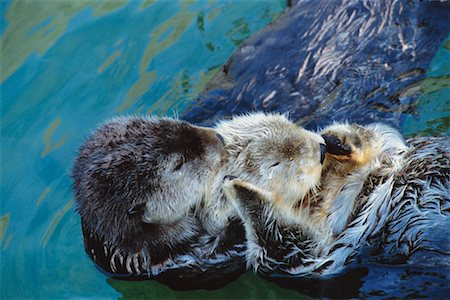 Sea Otters Stock Photo - Rights-Managed, Code: 700-00197675