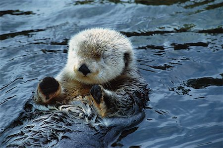 Sea Otter Stock Photo - Rights-Managed, Code: 700-00197676
