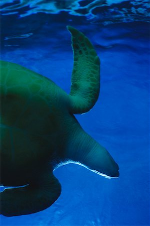 Green Sea Turtle Stock Photo - Rights-Managed, Code: 700-00197673