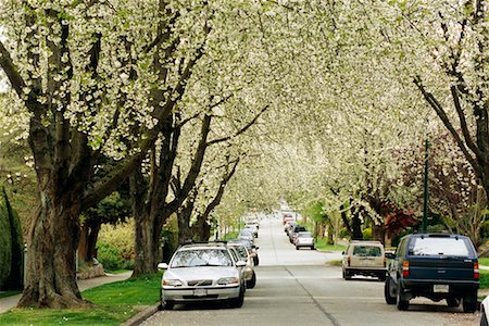 Cherry Blossoms Lining Street Stock Photo - Rights-Managed, Code: 700-00343199