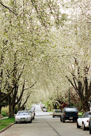 Cherry Blossoms Lining Street Stock Photo - Rights-Managed, Code: 700-00343200
