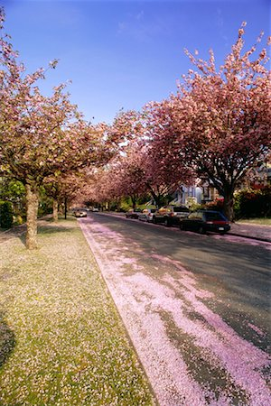 Street Covered in Cherry Blossoms Stock Photo - Rights-Managed, Code: 700-00343203