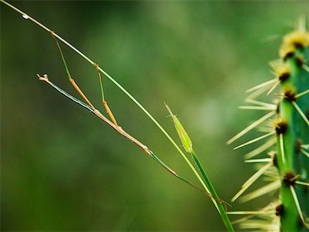 Stick Insect Stock Photo - Rights-Managed, Code: 700-00378110