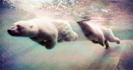 Polar Bears Swimming Stock Photo - Rights-Managed, Code: 700-00378166