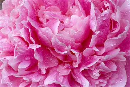 peony backgrounds - Peony Flower Stock Photo - Rights-Managed, Code: 700-00371861