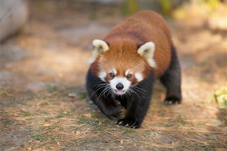 Red Panda Stock Photo - Rights-Managed, Code: 700-00430116