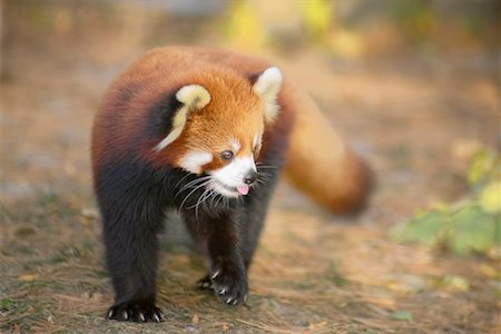 Red Panda Stock Photo - Rights-Managed, Code: 700-00430117