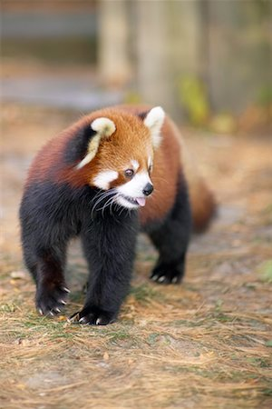Red Panda Stock Photo - Rights-Managed, Code: 700-00430118
