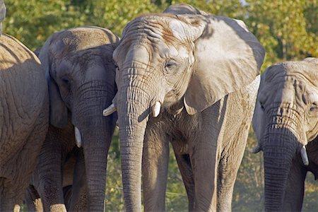 Elephants Stock Photo - Rights-Managed, Code: 700-00430126
