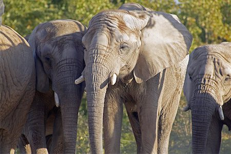 Elephants Stock Photo - Rights-Managed, Code: 700-00430126