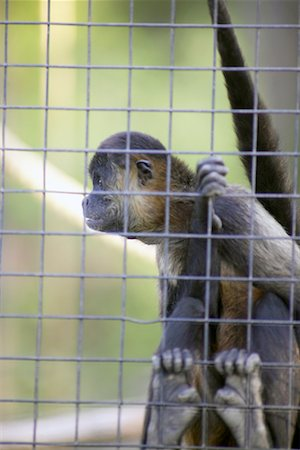 Spider Monkey Stock Photo - Rights-Managed, Code: 700-00430121