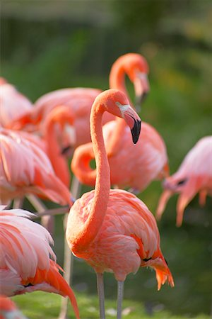 Flamingoes Stock Photo - Rights-Managed, Code: 700-00430122