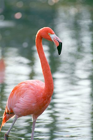 Flamingo Stock Photo - Rights-Managed, Code: 700-00430123