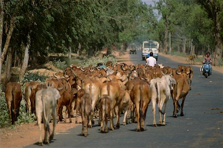 Herd of Cattle Walking Down Road, Rajasthan, India Stock Photo - Rights-Managed, Code: 700-00554571