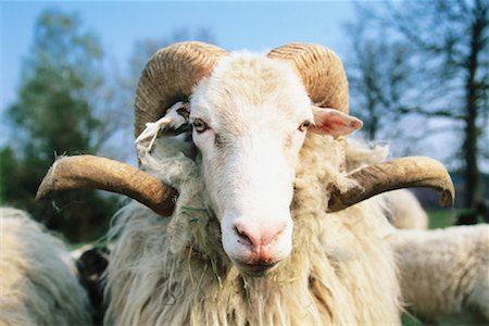 ram (animal) - Portrait of Moorland Sheep Stock Photo - Rights-Managed, Code: 700-00557122