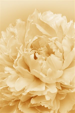 Close-Up of Peony Flower Stock Photo - Rights-Managed, Code: 700-00557397