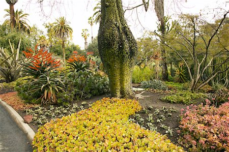 silk floss tree - Silk Floss Tree, Huntington Botanical Garden, Pasadena, California, USA Stock Photo - Rights-Managed, Code: 700-00550935