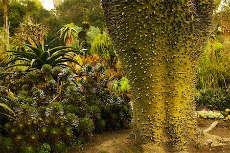 silk floss tree - Silk Floss Tree, Huntington Botanical Garden, Pasadena, California, USA Stock Photo - Rights-Managed, Code: 700-00550976