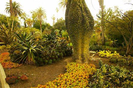silk floss tree - Silk Floss Tree, Huntington Botanical Garden, Pasadena, California, USA Stock Photo - Rights-Managed, Code: 700-00551021