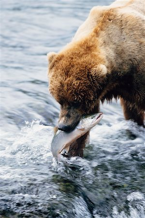 Grizzly Bears Catching Fish, Katmai National Park, Alaska, USA Stock Photo - Rights-Managed, Code: 700-00560569