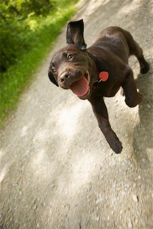 Puppy Running on Path Stock Photo - Rights-Managed, Code: 700-00617537