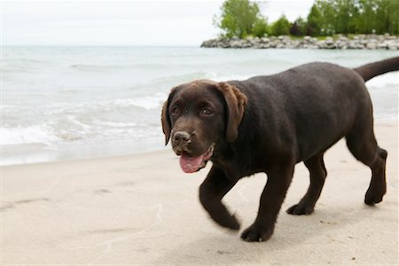 Dog Walking on Beach Stock Photo - Rights-Managed, Code: 700-00617531
