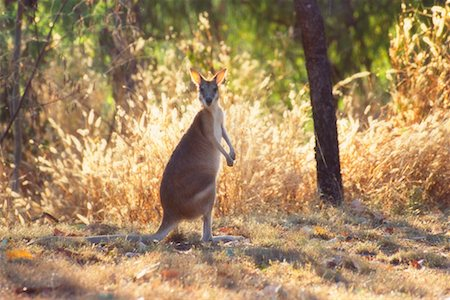 Wallaby, Nitmiluk National Park, Northern Territory, Australia Stock Photo - Rights-Managed, Code: 700-00610183