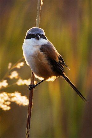 Long Tailed Shrike Stock Photo - Rights-Managed, Code: 700-00800834