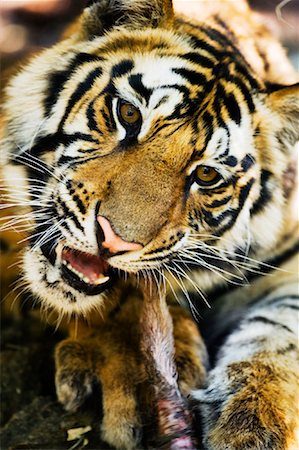 Tiger Eating Stock Photo - Rights-Managed, Code: 700-00800839